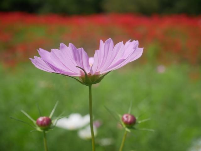 紫苑ステークス2021のサインはソダシ?